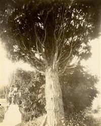 cyprès by eugène atget