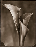 two calla lilies (daylight) by tom baril