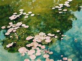 vietnamese water lillies by philipp keel