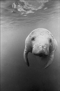 manatee by barbara alper