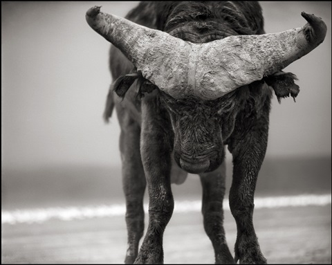 buffalo with lowered head, amboseli by nick brandt