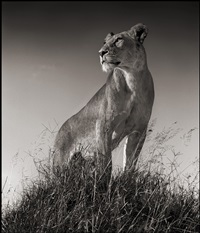 lioness on mound, serengeti by nick brandt