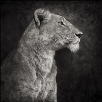 portrait of lioness against rock, serengeti by nick brandt