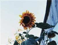 sunflowers, phillies bridge farm, new paltz, ny by james welling