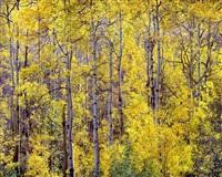 golden aspen and afternoon sunlight, colorado by christopher burkett