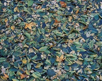 green and gold floating leaves, arizona by christopher burkett