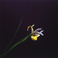 iris by robert mapplethorpe