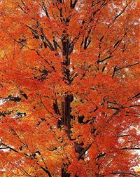 orange maple at sunrise, pennsylvania by christopher burkett