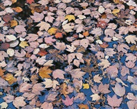 pink floating leaves, kentucky by christopher burkett