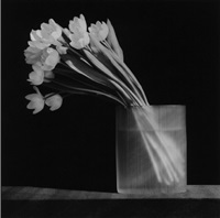 tulip by robert mapplethorpe