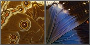 hide & seek (violet morpho) by craig dennis and susan eder