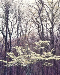 white dogwood and winter woods, kentucky by christopher burkett