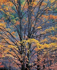 yellow maples at twilight, pennsylvania by christopher burkett