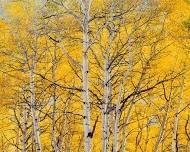 sunlit golden aspens, colorado by christopher burkett