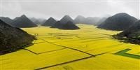 canola fields, luoping, yunnan province, china by edward burtynsky