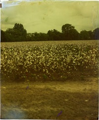 cotton field, (from the mississippi series) by john chiara