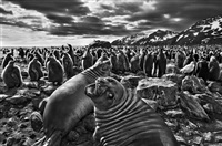 southern elephant seal calves at saint andrews bay. south georgia by sebastião salgado