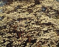 sunrise dogwoods, kentucky by christopher burkett