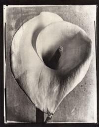 calla lily ap by tina modotti