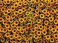 sunflower by liu bolin